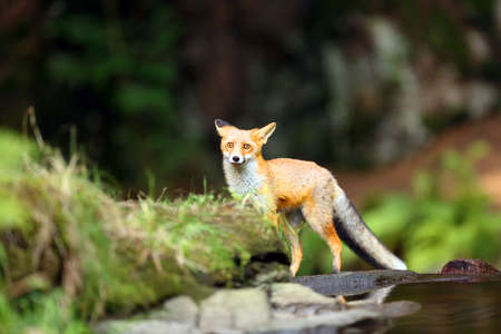 Young red fox (Vulpes vulpes) sneaks near water after prey in forest.