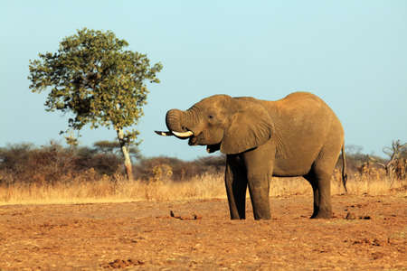 The African bush elephant (Loxodonta africana) drinking from the water hole in a dry savanna. Big african mammal in the dry savanna.