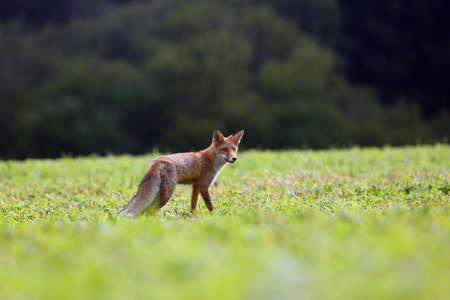 Lis rudy (Vulpes vulpes) szuka pożywienia na łące. Młody lis rudy na zielonym polu z ciemnym lasem świerkowym w tle.