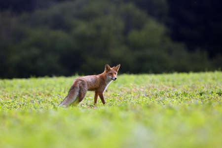 The red fox (Vulpes vulpes) looks for food in a meadow. Young red fox on green field with dark spruce forest in background.