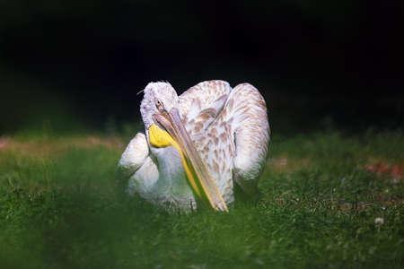 The Dalmatian pelican (Pelecanus crispus) sitting on the meadow. Big pelican with green background.