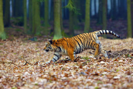 The Siberian tiger (Panthera tigris tigris),also called Amur tiger (Panthera tigris altaica) walking through the forest. Young tiger in the in a natural environment. Banque d'images - 138196838