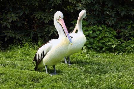 The Australian pelican (Pelecanus conspicillatus) standing on the shore.
