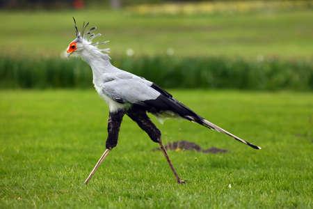 Der Sekretärvogel oder Sekretärvogel (Sagittarius serpentarius). Der Sekretärvogel mit grünem Hintergrund. Standard-Bild