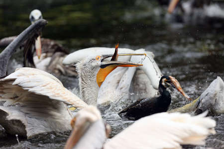 The group of dalmatian pelican (Pelecanus crispus)  is fishing in the lake with great white pelican and brown pelican and cormorant during spring with dark background. Banco de Imagens - 138418504