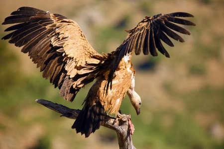 The griffon vulture (Gyps fulvus) sitting on the branch with colorful background. Vulture with mountains in the background. Foto de archivo