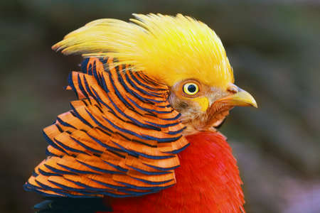 The golden pheasant or Chinese pheasant (Chrysolophus pictus) , portrait of the male with brown background.
