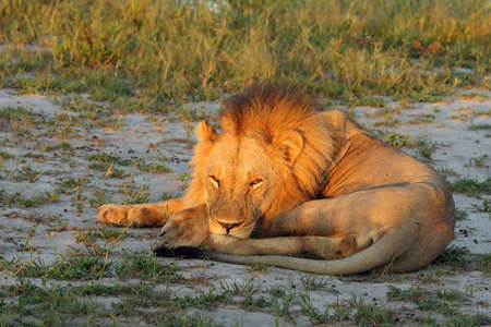 The Southern lion (Panthera leo melanochaita) also to as the East-Southern African lion or Eastern-Southern African lion or Panthera leo kruegeri. Big male lying in dry yellow grass during the sunrise.