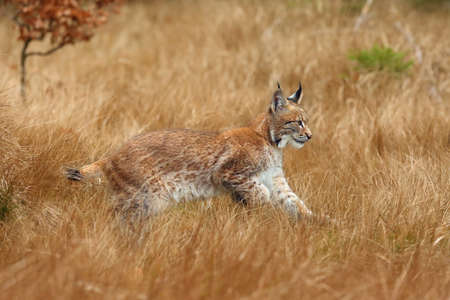 The Eurasian lynx (Lynx lynx) a young lynx in yellow grass, autumn forest background. Stock Photo