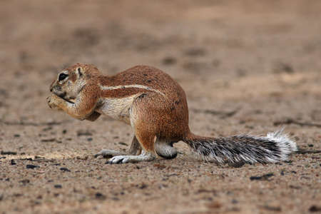 Cape ground squirrel (Xerus inauris) is sitting on the sandy ground of the desert and eating