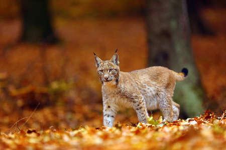 The Eurasian lynx (Lynx lynx), also known as the European lynx or Siberian lynx in autumn colors. Stock Photo