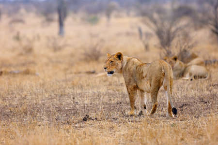 The Southern lion (Panthera leo melanochaita) also referred to as the East-Southern African lion or Eastern-Southern African lion or Panthera leo kruegeri. The adult lioness walking through the savannah. Stock Photo