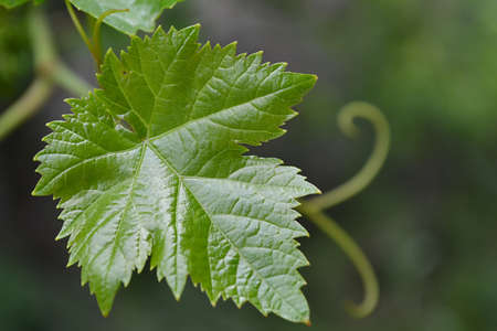 Leaf of grapes photo