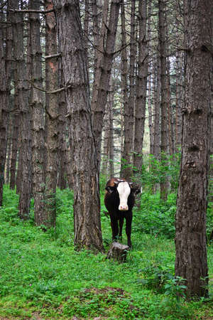 Cow in coniferous forest  Stock Photo