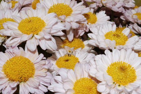 Background of white chrysanthemum