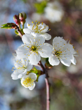 Blooming branches of cherries tree
