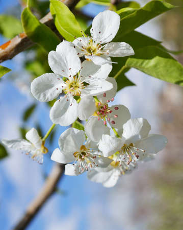 A blooming branch of pear tree photo