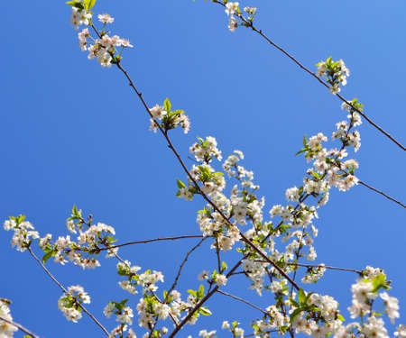 Blooming branches of cherries tree photo