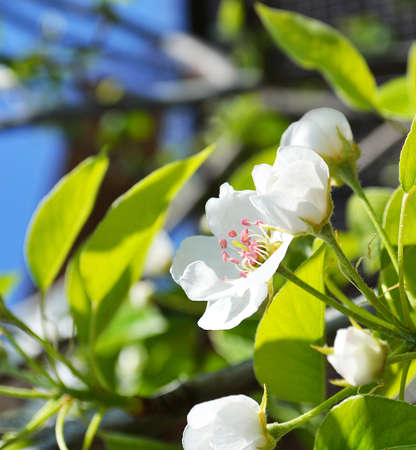A blooming branch of pear tree Stock Photo