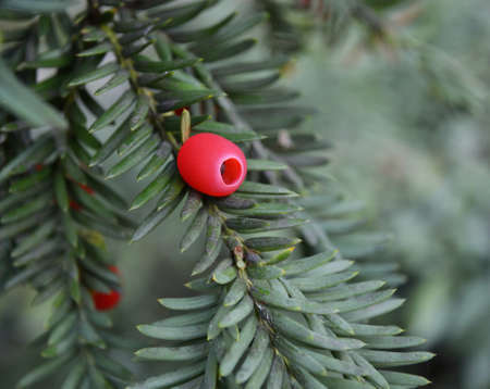 Ripe red yew-tree berries photo