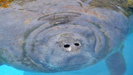 Close-up portrait of manatee