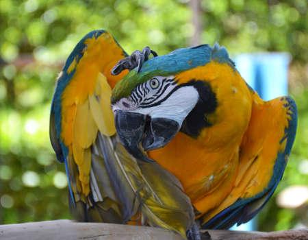 Portrait of Amazon macaw parrot