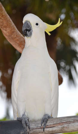 Sulphur-crested cockatoo - white parrot Stock Photo