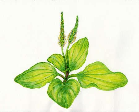 plantain: Plantain