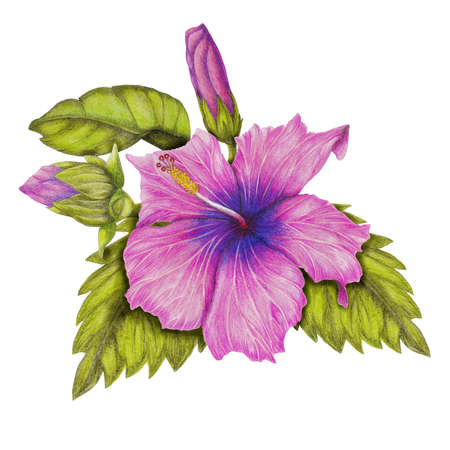 Hibiscus drawing photo
