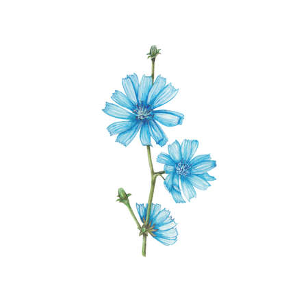Chicory Zdjęcie Seryjne