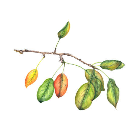 aquarelle painting art: Pear branch