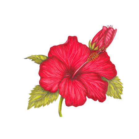 pencil drawings: Red hibiscus