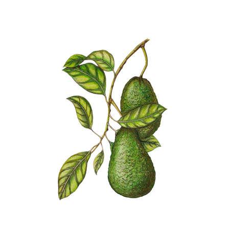 Awokado ilustracji