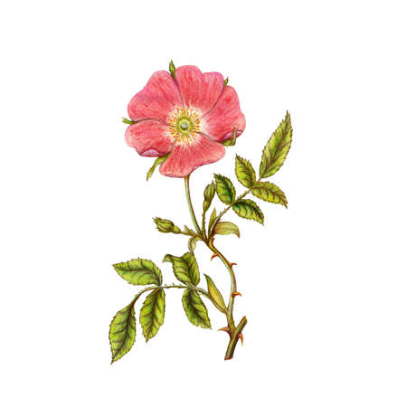 pencil drawings: Briar flower Stock Photo