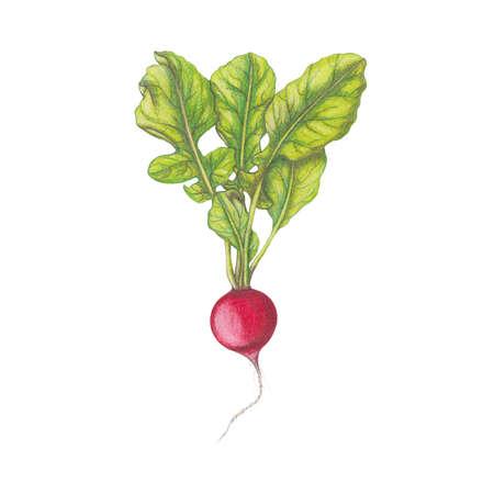 radish: Fresh radish Stock Photo