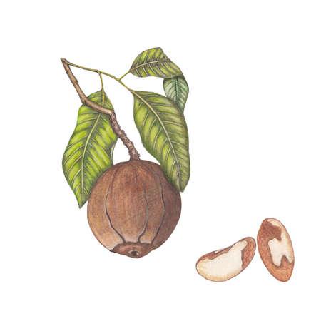 brazil nut: Botanical illustration of brazil nuts