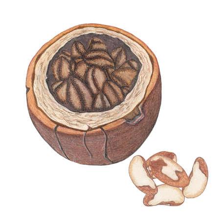 brazil nut: Brazil nuts