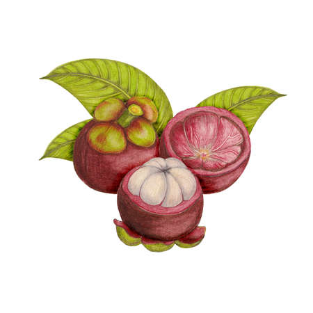 thai dessert: Hand drawn botanical illustration of mangosteen