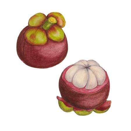 mixedmedia: Hand drawn illustration of mangosteen
