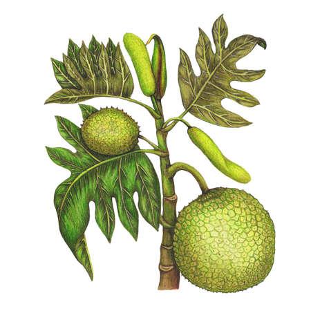 mixedmedia: Isolated botanical illustration of breadfruit