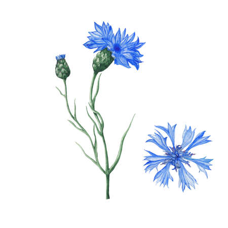 Cornflowers botanical illustration