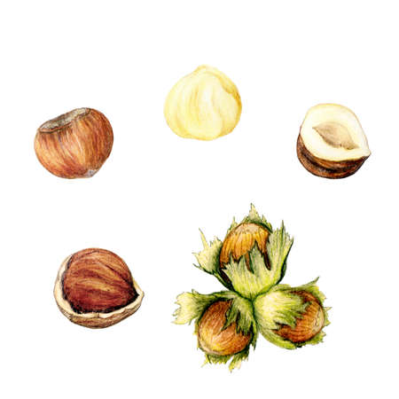 Isolated set of hand drawn botanical hazelnut illustration