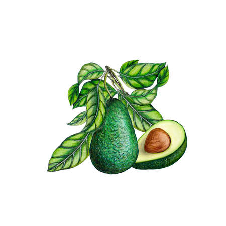 Hand drawn isolated realistic illustration of avocado on white background