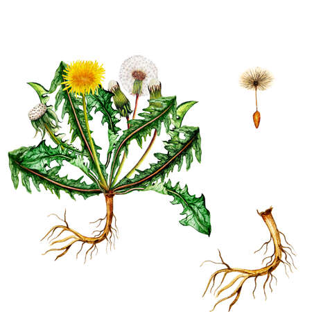 Isolated botanical illustration of  watercolor dandelion