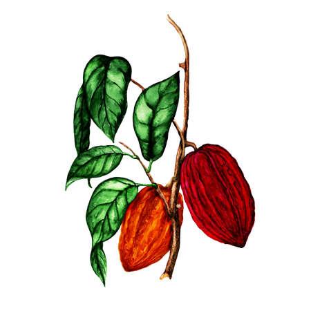 Isolated botanical illustration of cocoa, watercolor cocoa illustration, hand drawn cocoa Reklamní fotografie