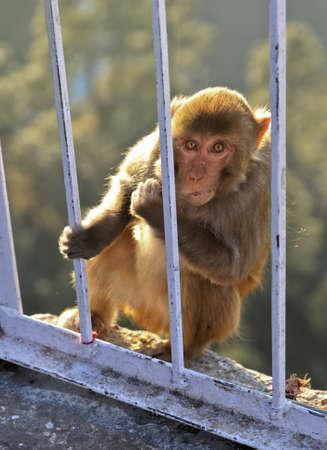 crop margin: Retrato de un mono de la India en Vasihnu Devi templo en Jammu Cachemira India estudiando la lente de la c�mara con m�rgenes de cultivos y espacios empy