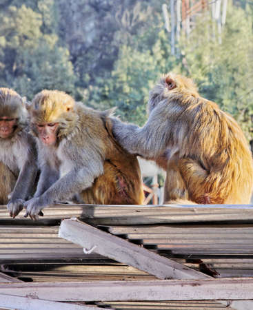 devi: Portrait of Indian monkeys at Vaisno Devi Trikuta mountain range sat on corrugated roof nit picking, crop space with empty areas