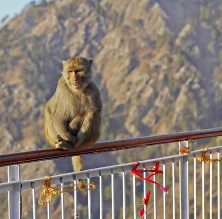 crop margins: Macaca Radianta Monkey at Vaishno Devi India hanging onto railings, ribbon is Hindu religious custom with pilgrims to Vaishno Devi on the pilgrimage on the Trikuta Mountains of the Himalayas in the North of India. Crop margins and empty copy areas