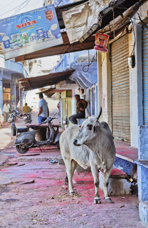 negative area: Portrait of the village at  Shri Nathji Mandir Rajasthan in India incorporating a cow sacred to Hinduism who is free to roam around the area, Remains of the Holi festival of color stains on the ground Editorial