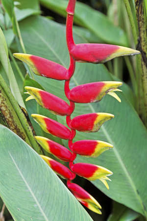 Shot taken in Goa, India at a garden of the crimson colours of tropical plant named Lobsters Claw, just about to start to bloom Stock Photo